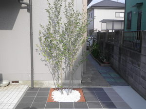 シャラの木.JPG